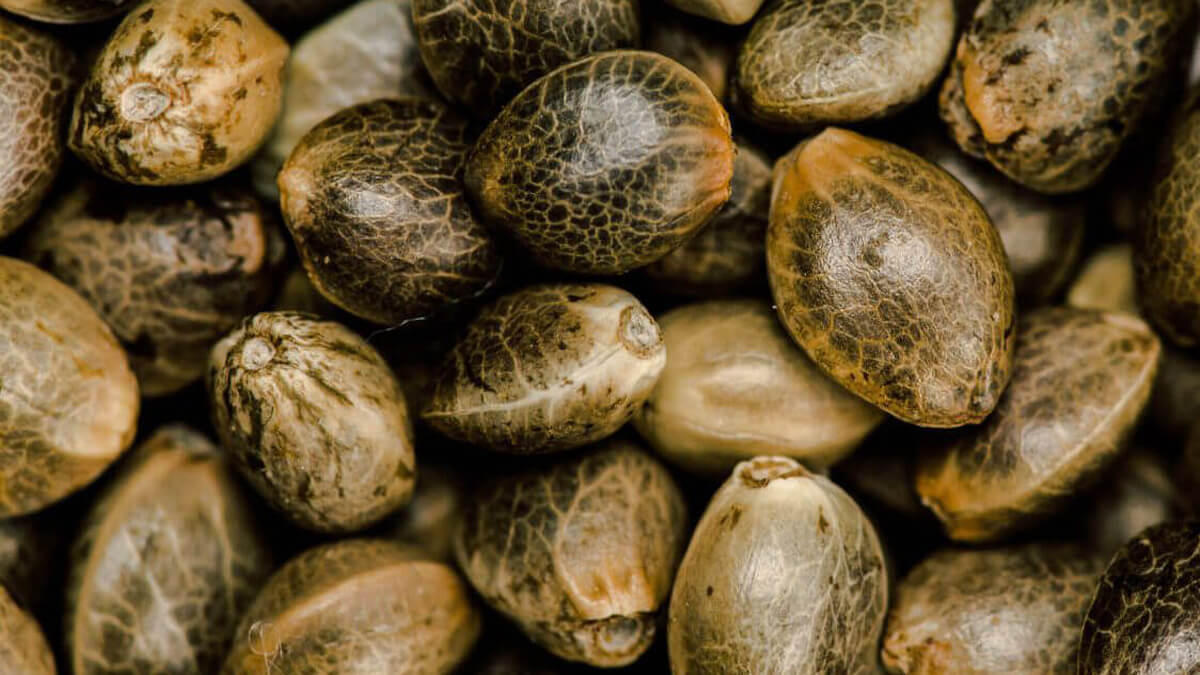 Como colher sementes de maconha - Um guia para iniciantes