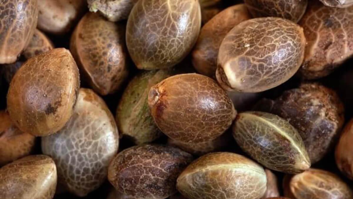 3 cose utili che puoi fare con i semi di cannabis di ricambio