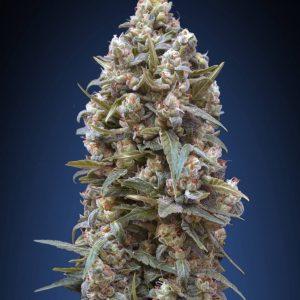 00 Kush Feminised Cannabis Seeds by 00 Seeds