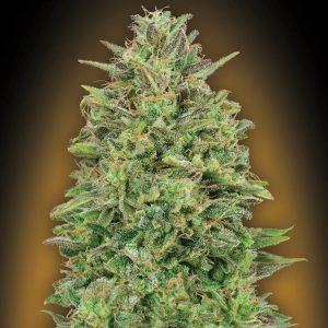 00 Skunk Feminised Cannabis Seeds by 00 Seeds