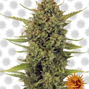 Acapulco Gold Feminised Cannabis Seeds by Barney's Farm Seeds