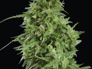 Amnesia Haze Feminiserede cannabisfrø