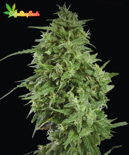 Amnesia Haze Feminised Cannabis Seeds