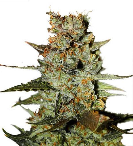 Blueberry Auto feminised cannabis seeds
