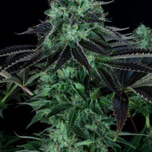Darkstar Feminised Marijuana Seeds by T.H. Seeds