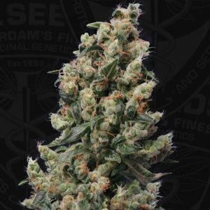 Kushage Feminised Cannabis Seeds by T.H. Seeds