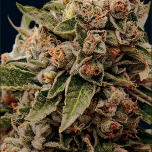 Lamb's Breath x AK-49 Feminised Cannabis Seeds by Vision Seeds