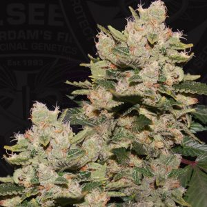 M.O.B. Feminised Cannabis Seeds by T.H. Seeds