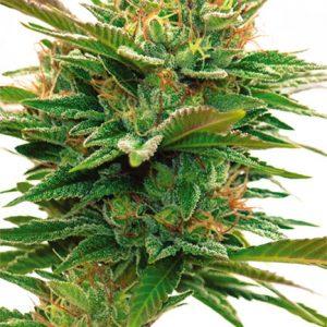 Nicole x OG Feminised Cannabis Seeds by Vision Seeds