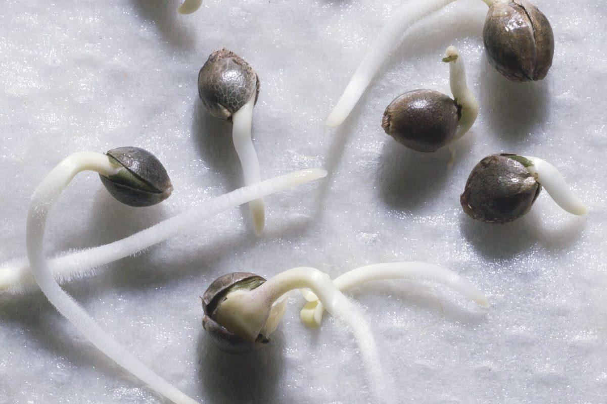 Estourando sementes de maconha na toalha de papel branco molhado