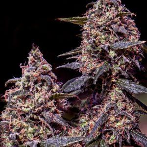 Somango #47 Feminised Cannabis Seeds by Positronic Seeds