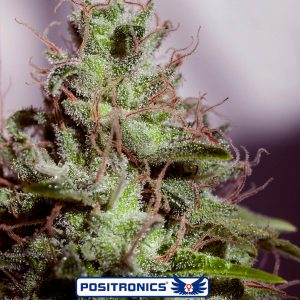 SuperCheese Express Auto Feminised Seeds by Positronic Seeds