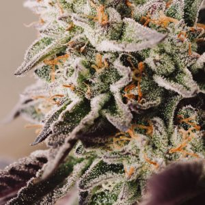 Vision Gelato Auto Feminised Cannabis Seeds by Vision Seeds