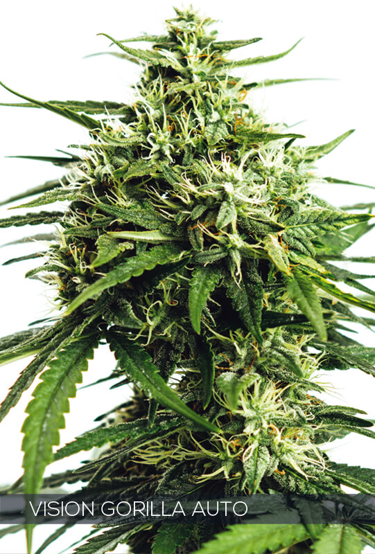 Vision Gorilla Auto Feminised Cannabis Seeds by Vision Seeds