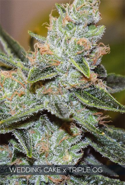 Wedding Cake x Triple OG Feminised Cannabis Seeds by Vision Seeds