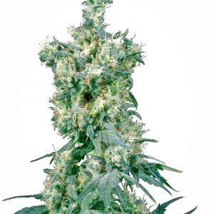 American Dream Regular Cannabis Seeds by Sensi Seeds