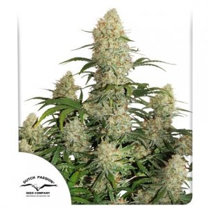 critical orange punch cannabis seeds by dutch passion