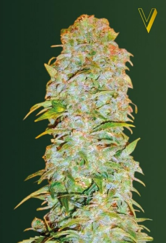 AK - 77V Feminised Cannabis Seeds by Victory Seeds