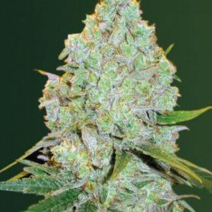 Amnesia Haze Feminised Auto Cannabis Seeds by Victory Seeds