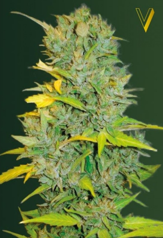 Biggest Bud Autoflowering cannabis seeds