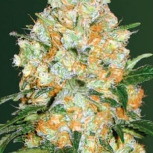 Bubblegum + PRO Auto Feminised Cannabis Seeds by Victory Seeds