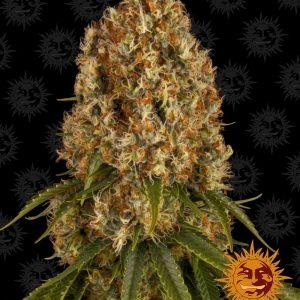 Orange Sherbert Feminised Cannabis Seeds by Barney's Farm