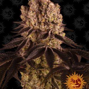 Purple Punch Feminised Cannabis Seeds by Barney's Farm Seeds