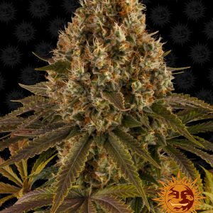 Strawberry Lemonade feminised cannabis seeds by Barney's Farm