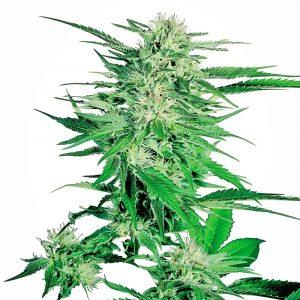 Big Bud Regular weed seeds by Sensi Seeds