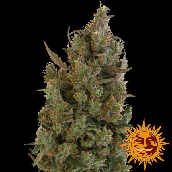 Blueberry Cheese Feminised Cannabis Seeds by Barney's Farm Seeds