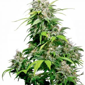 Californian Indica Regular Cannabis Seeds by Sensi Seeds