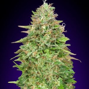 Critical Poison FAST Feminised Cannabis Seeds by 00 Seeds