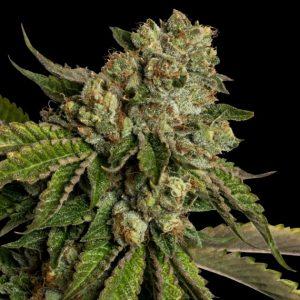 Kosher Kush Feminised Cannabis Seeds by DNA Genetics