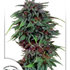Durban Poison Feminised Cannabis Seeds by Dutch Passion