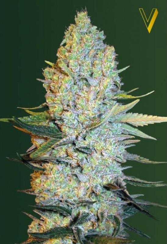 Amnesium Feminised Cannabis Seeds by Victory Seeds