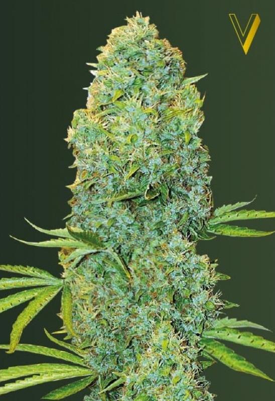 Amnesia Haze Feminised Cannabis Seeds by Victory Seeds