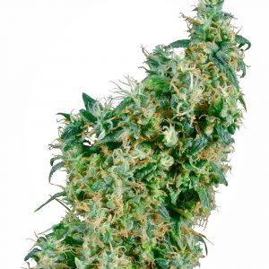 First Lady Regular Cannabis Seeds by Sensi Seeds