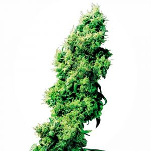 Four Way Regular Cannabis Seeds by Sensi Seeds