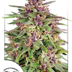 Frisian Dew Feminised Cannabis Seeds by Dutch Passion