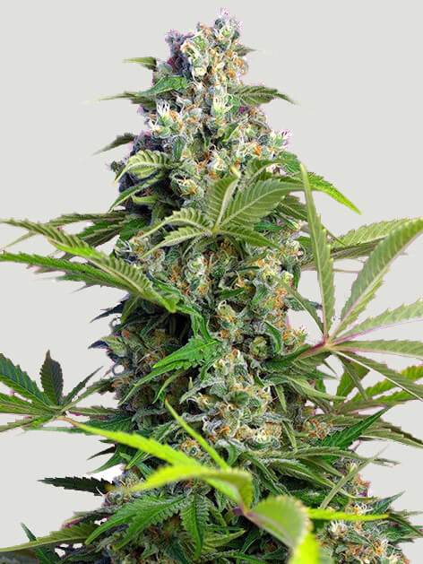Gorilla Cookies Feminised cannabis seeds