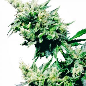 Hash Plant Regular Cannabis Seeds by Sensi Seeds