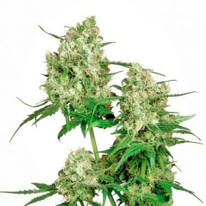 maple Leaf regular cannabis seeds