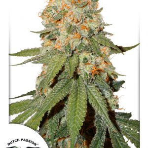 Orange Bud Feminised Cannabis Seeds by Dutch Passion