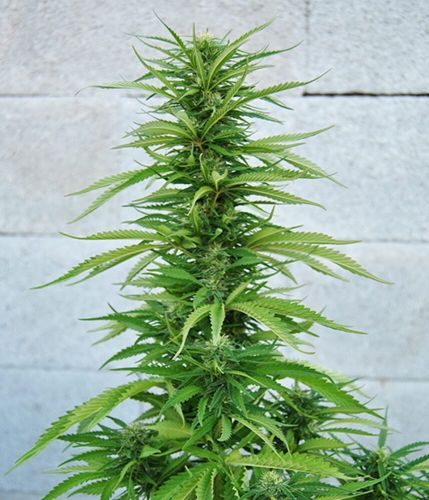 Outdoor Grapefruit Feminised Seeds by Female Seeds
