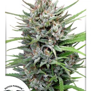 Passion #1 Feminised Cannabis Seeds by Dutch Passion