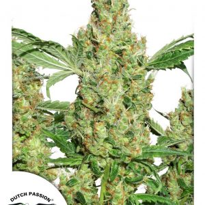 Power Plant Feminised Cannabis Seeds by Dutch Passion