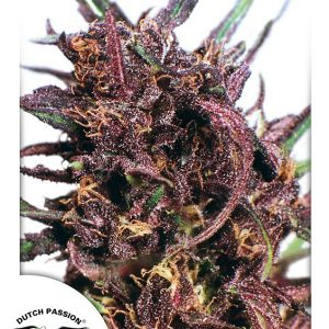 Purple #1 Feminised Cannabis Seeds by Dutch Passion