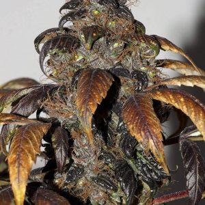 Purple Bud Regular Weed Seeds by Seedsman