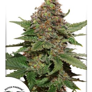 Strawberry Cough Feminised Cannabis Seeds by Dutch Passion