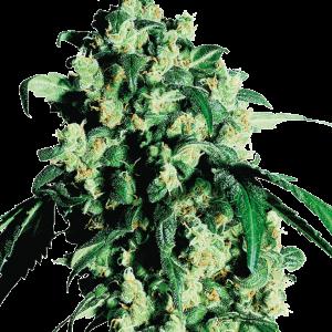 Super Skunk Feminised marijuana Seeds form Sensi Seeds